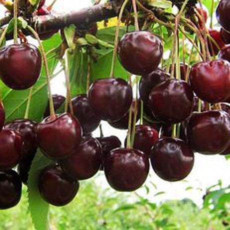 Случшие сорта вишни в украине